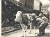 Soldiers of the 100th milk a cow in Germany, March 16, 1945. [Courtesy of U.S. Signal Corp]
